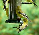 wild finches at the feeder by tego53