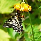 butterfly on a wild lily by tego53