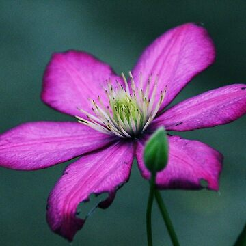 Single Clematis Bloom - 18 by goldnzrule