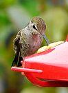 hummingbird  at a  feeder by tego53