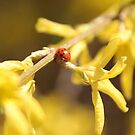 Ladybug on Forsythia  by goldnzrule