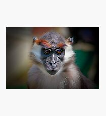 Cherry-crowned mangabey ........ Photographic Print