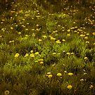 Dandelions by Anita Harris