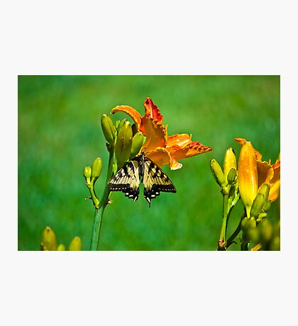 Butterfly on Lily Photographic Print