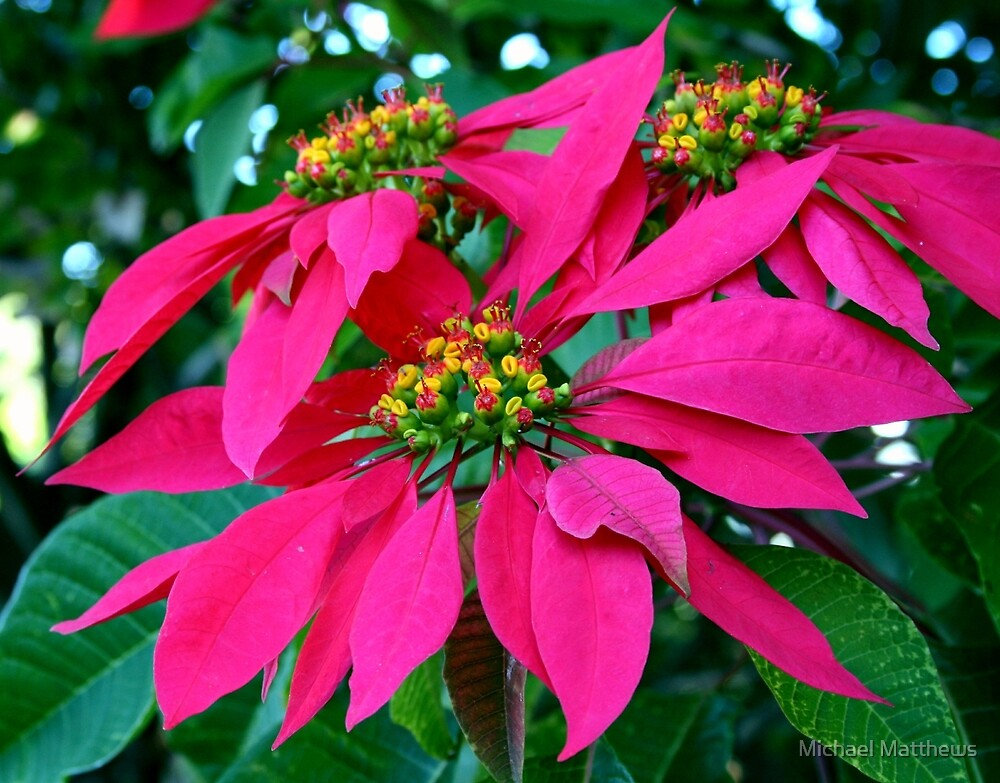Poinsettia at the Zoo by Michael Matthews