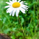 Daisy by Anita Harris