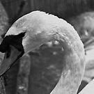 Swan by chazz