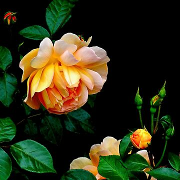 Heavy is the head of beauty- Apricot Rose by BBrightman