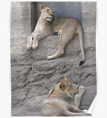 Lion Pair Poster