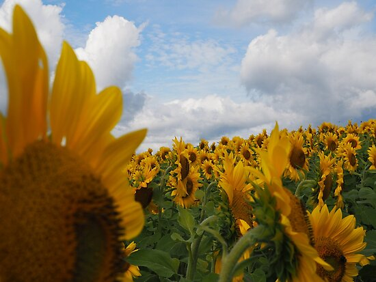 Sunflower Garden by Michelle Callahan