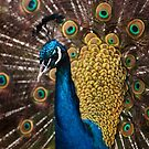 Peacock by markphotos1964