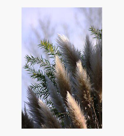 pampus grass Photographic Print