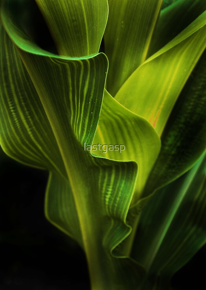 corn stalk by lastgasp