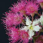 Brushbox Framed by Corymbia Ficifolia by Michael Matthews