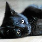 Fast Moving, Feisty Feline Furball - Meet Haggis! von BlueMoonRose