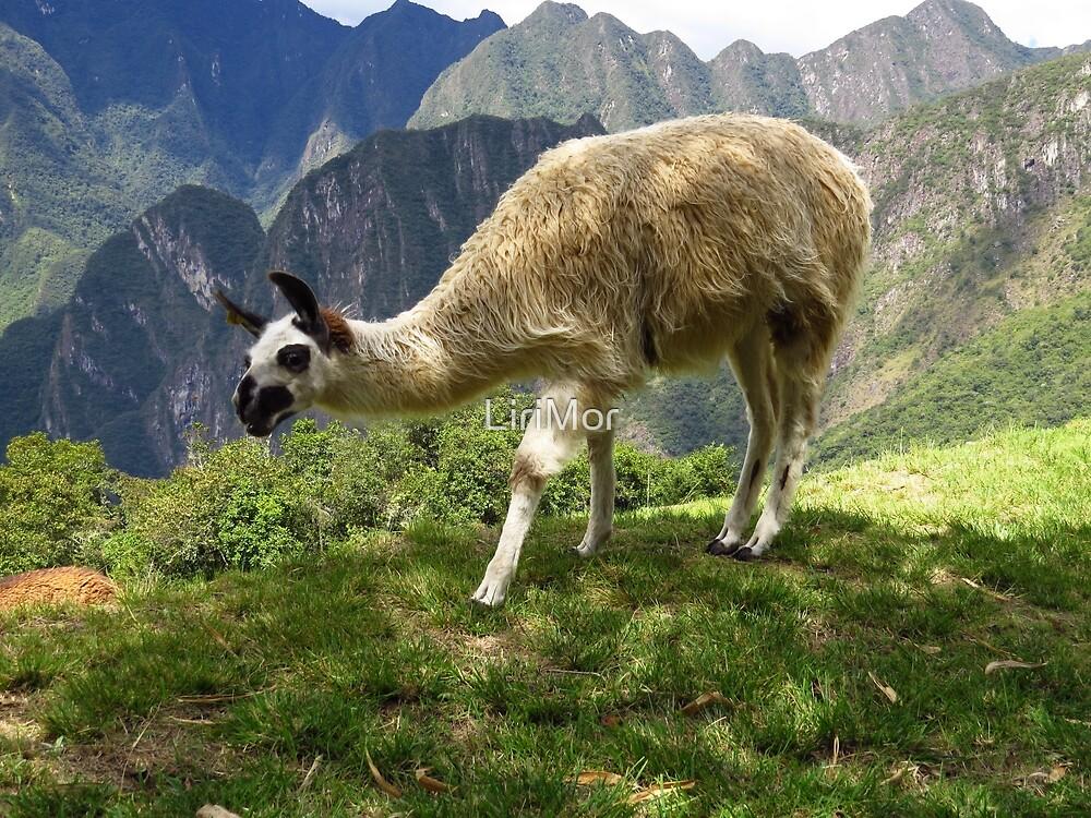 Crazy Lama | Peru by LiriMor