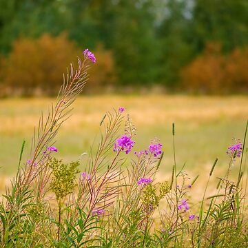 Fireweed at fall by boogeyman