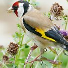 Goldfinch by jesika