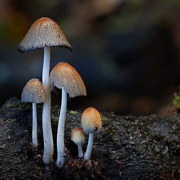 Inky caps by Steveaxford
