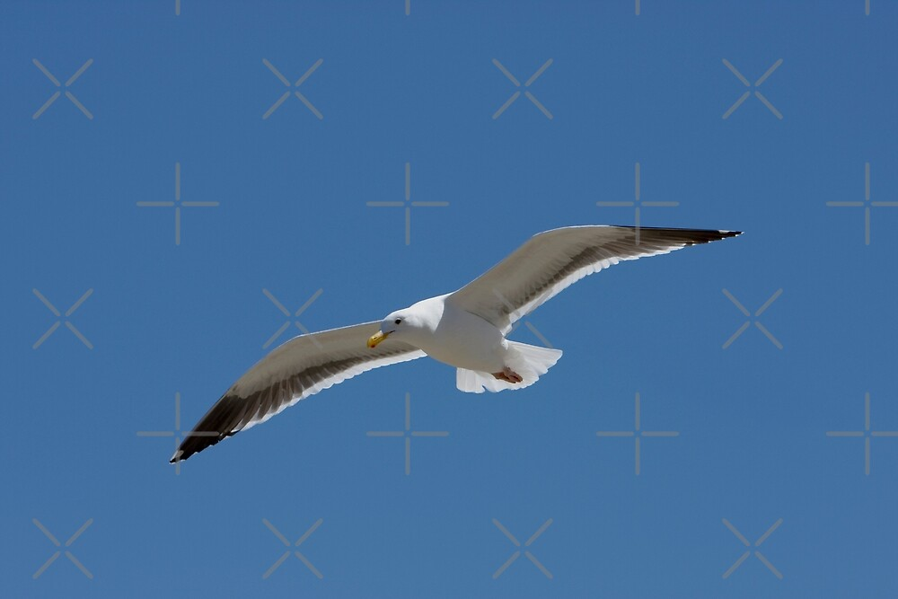 Seagull Gliding into the Wind by Buckwhite