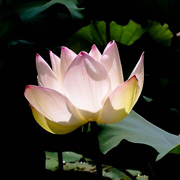 Lotus in the sun by dymock