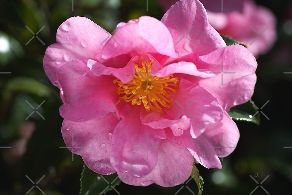 Pink Camellia Brightens Winter  by Joy Watson