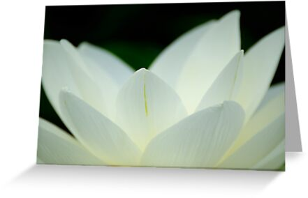 lotus flower by patrick pichard