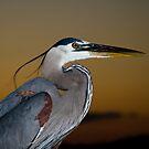 Great Blue Heron Portrait by Jonicool