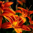 Lilly's In The Early Morning Light by Gypsykiss