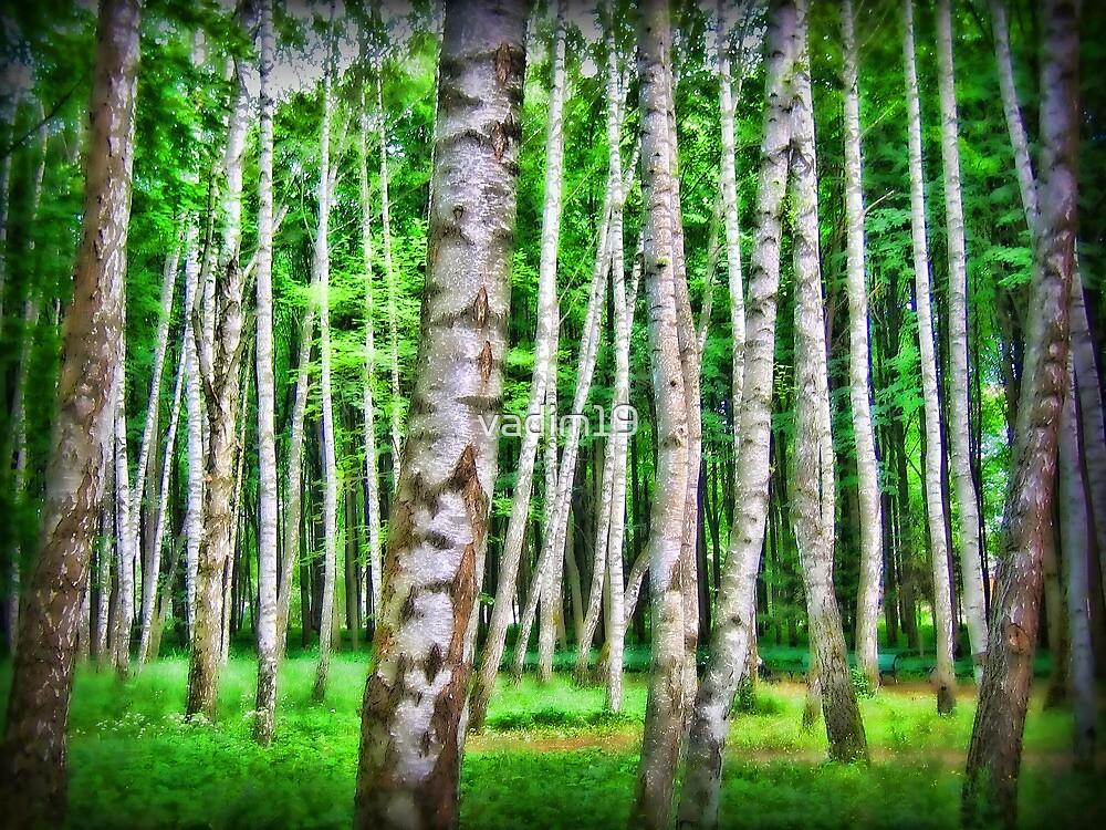 Birch Trees by vadim19