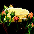 Soft Golden Glow Rose by Beth Brightman