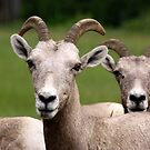 Bighorn Sheep by Kimberly Palmer