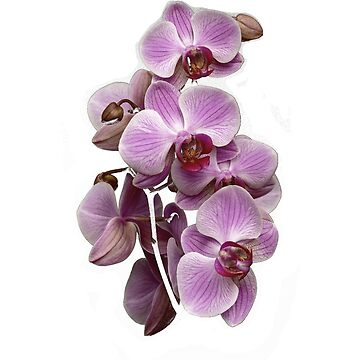 orchid lover  by Ecove