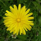 Dandilion by mikequigley
