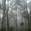 Misty Eucalypt forest by Louisa Billeter