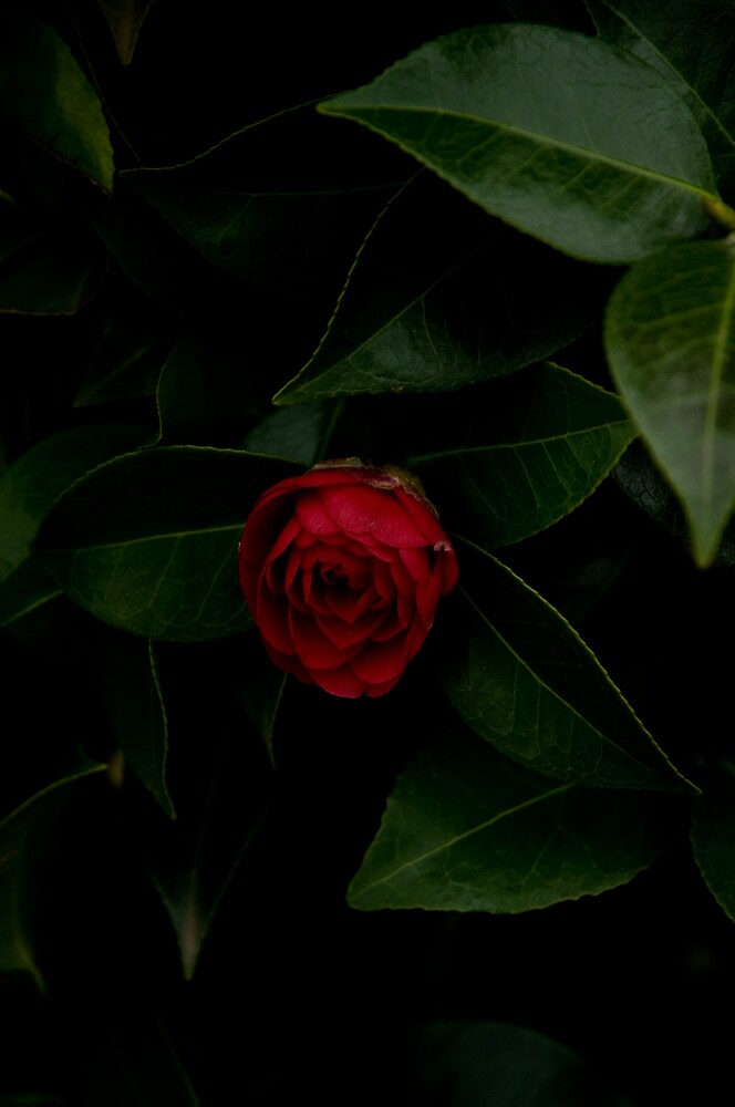 red camelia by Ilva Beretta