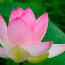 pink lotus flower by patrick pichard