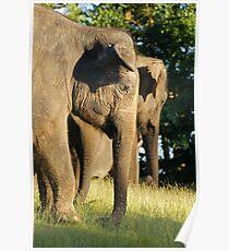 Elephas Maximus Poster