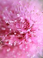 Pink dream by MistyIslet