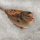 Little sparrow by Coloursofnature