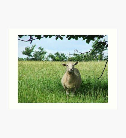Looking Sheepish Art Print