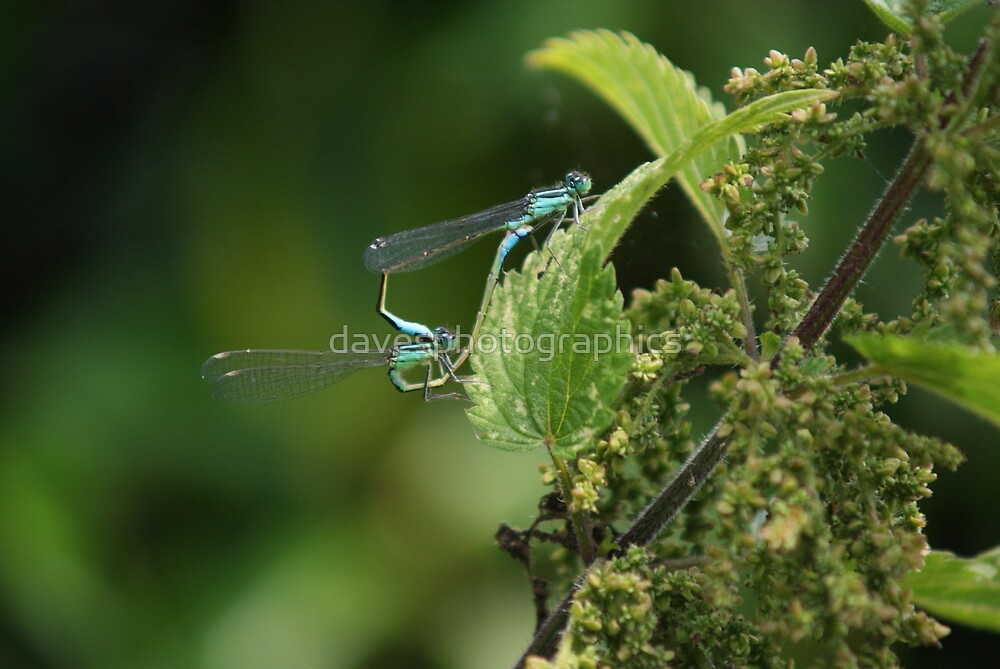 Pair Of Dragon Flys by davesphotographics