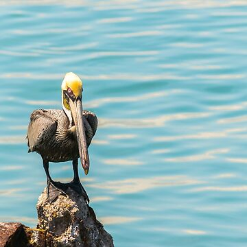 Brown Pelican perched on a rock by the sea by debbieannpowell