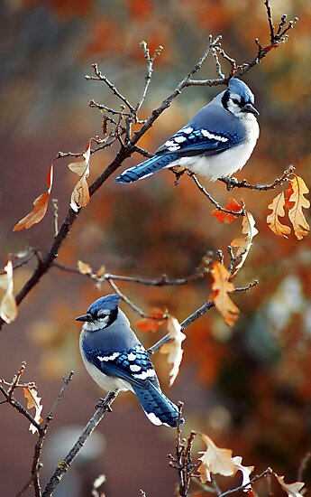 Autumn Jays by fortner