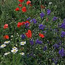 poppies by danapace