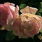roses by danapace