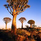 Kokerboom in Namibia by patrick pichard