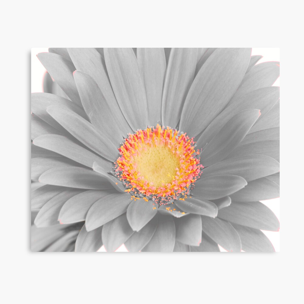 Gerbera Daisy with Yellow Center Lienzo