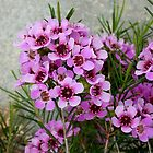 Geraldton Wax Native Plant by TeAnne