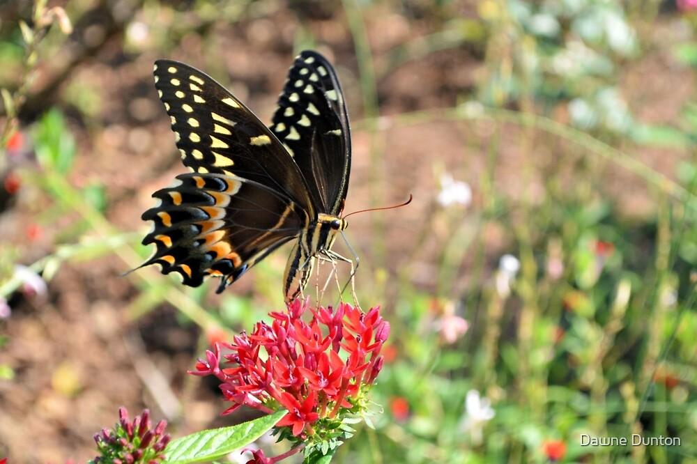 Eastern Tiger Swallowtail by ©Dawne M. Dunton